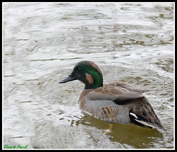 Canard à Faucille