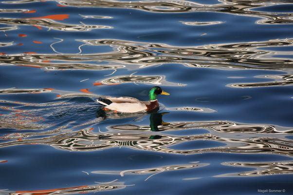 Canard à l'eau(range)
