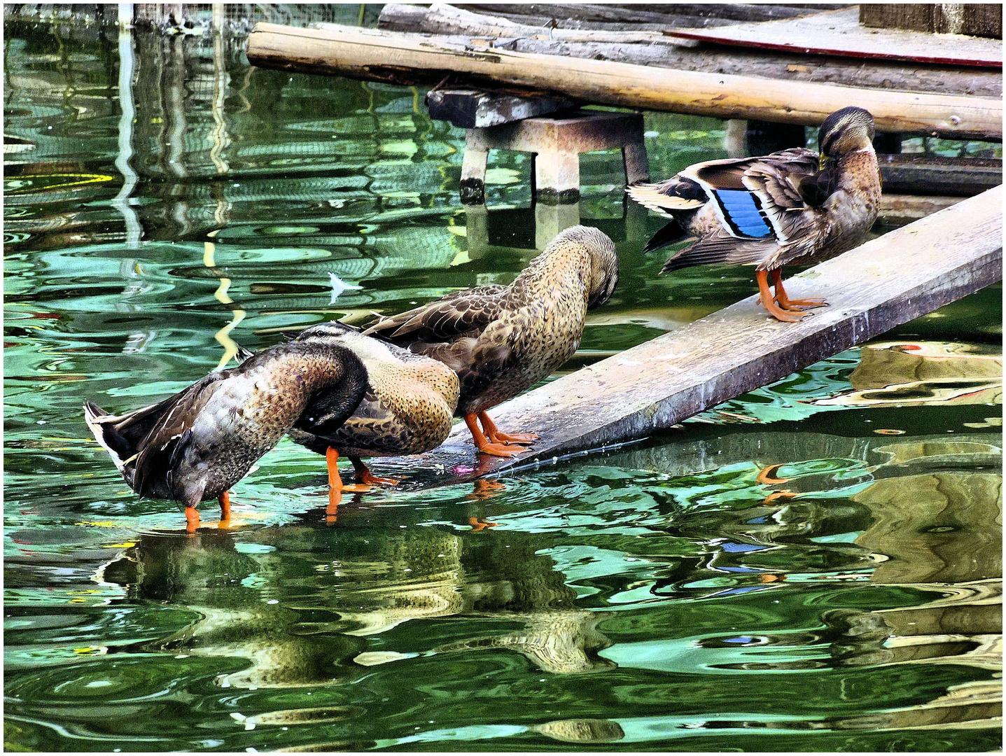 Canard au bleu