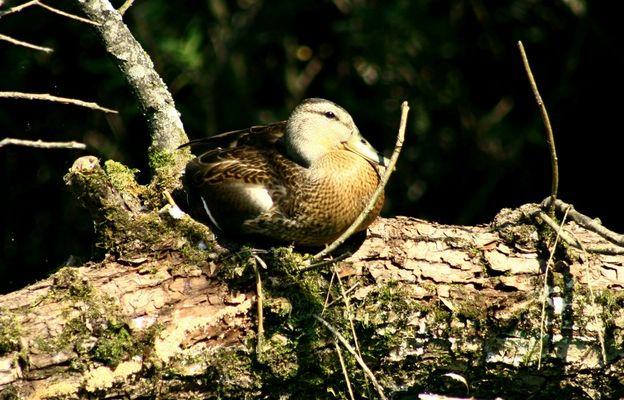 Canard au repos sur le lac d'Aiguebelette