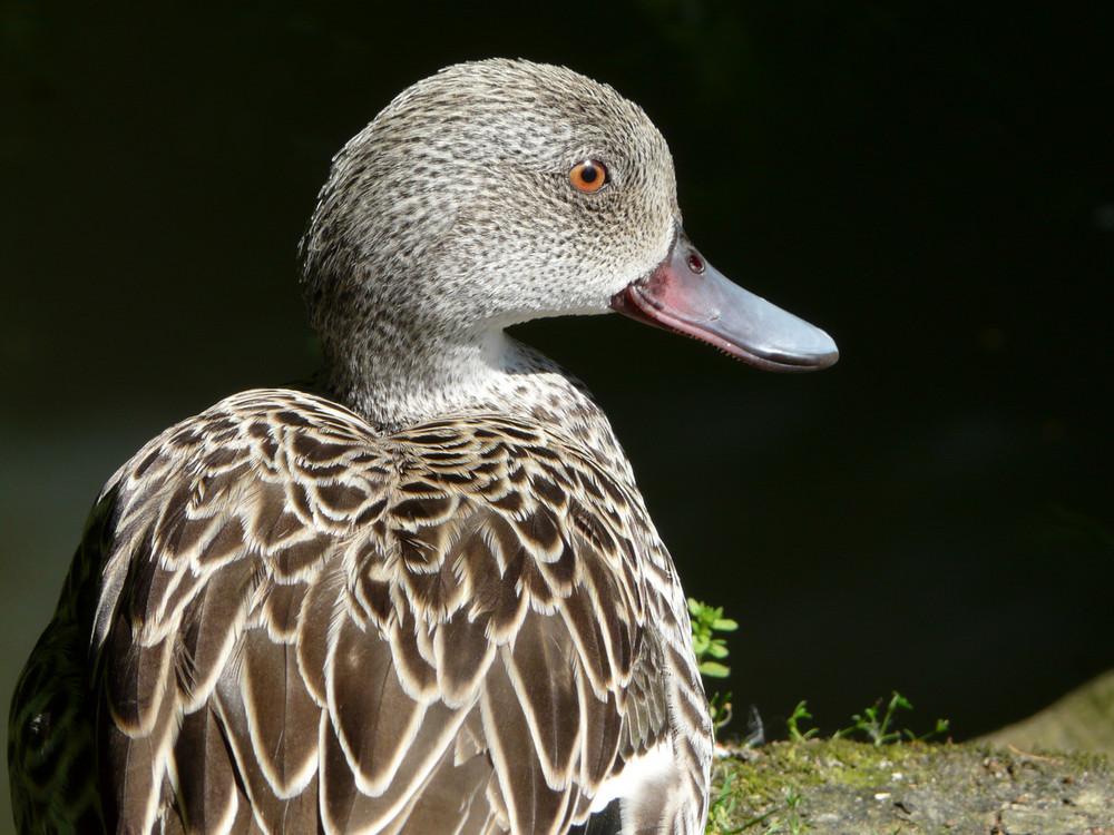 Canard pris en photo au parc de Beauval ...