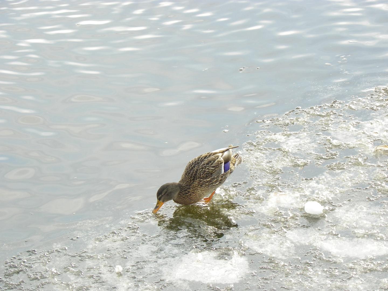 Canard sur lac :-)