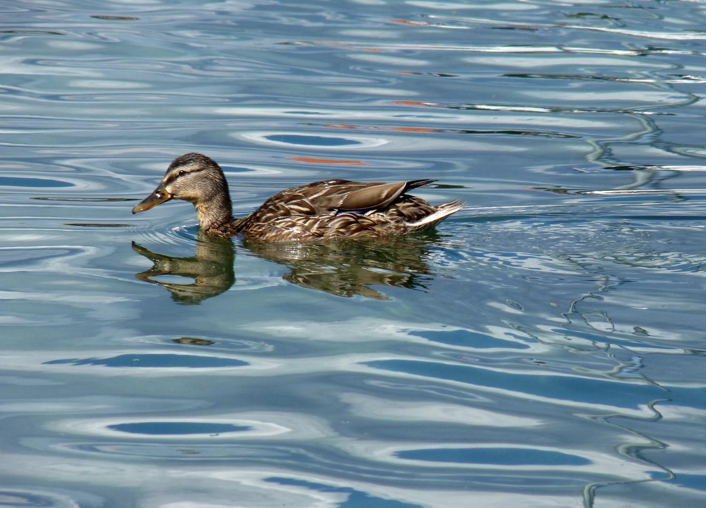Canard sur le Lac Leman