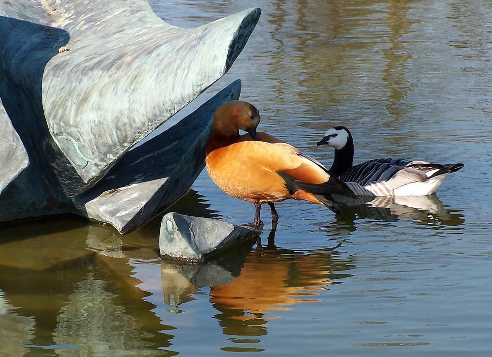 Canards aux belles couleurs