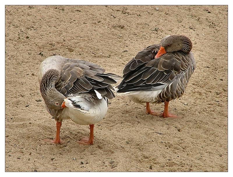 Canards en nettoyage Portugal