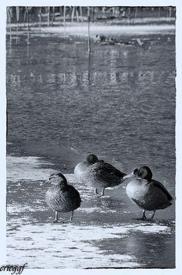 Canards gelés