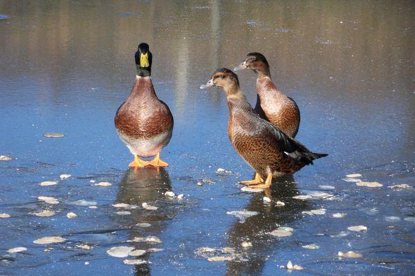 Canards sur étang gelé