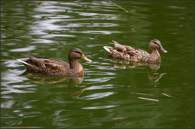 canards sur mon étang favoris