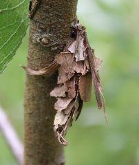 Canephora hirsuta-großer Sackträger Weibchen I