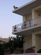 Cani da guardia in Grecia