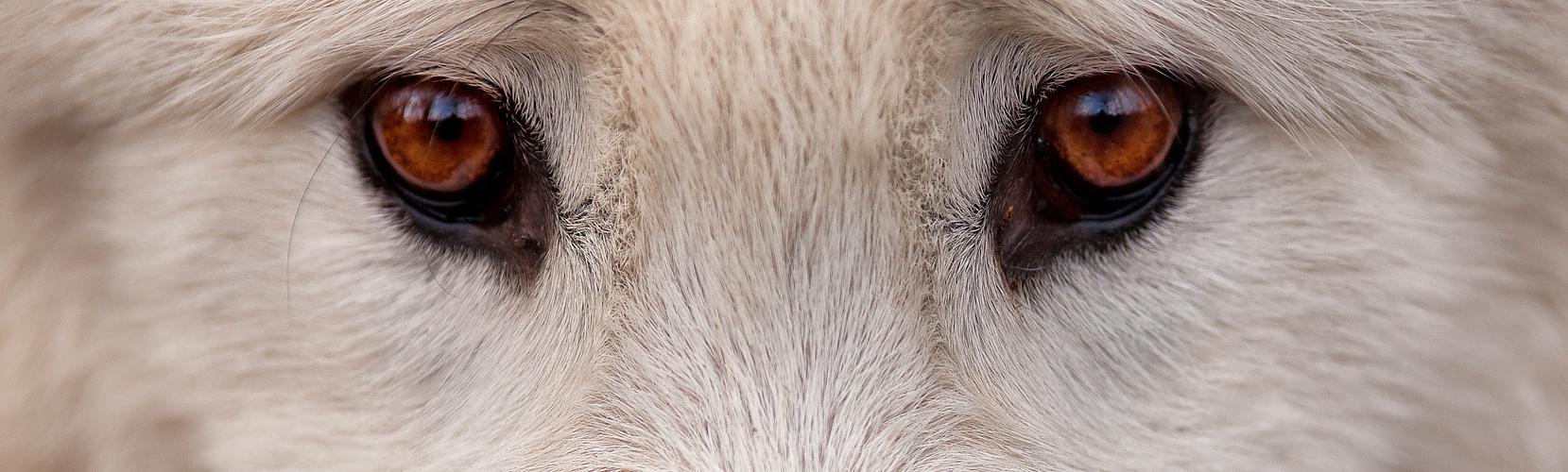 Canis Lupus arctos III