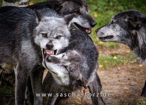 Canis lupus lycaon