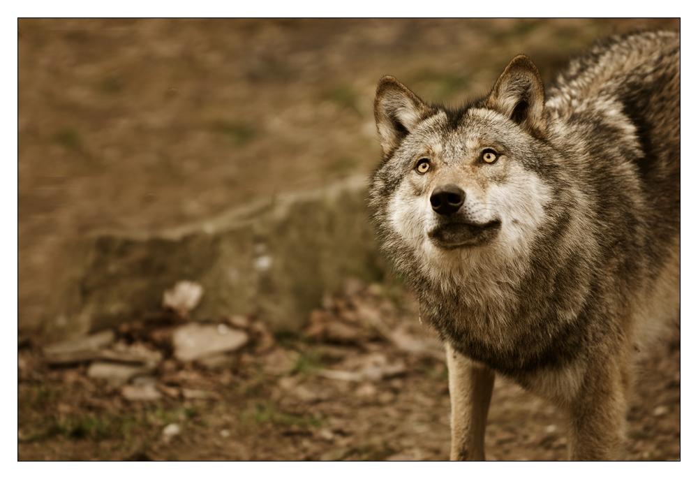 Canis Lupus - neugierig