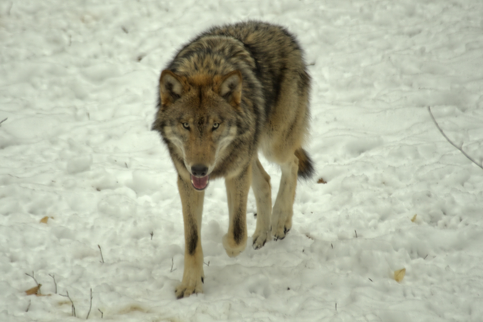 Canis Lupus, Wolf
