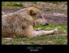 Canis Lupus - Wolf I