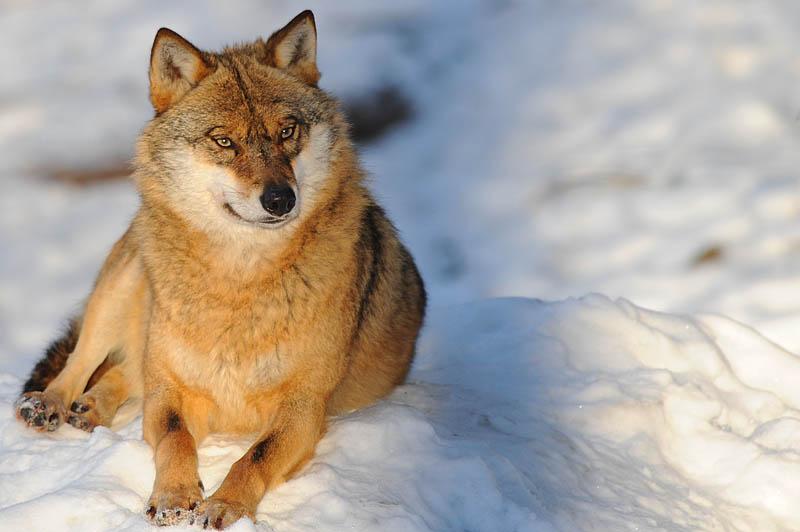 Canis Lupus(NP Bayerischer Wald)