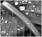 Canna-Blatt im Regen