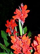 Canna in Rot