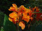 Canna indica - das Indische Blumenrohr