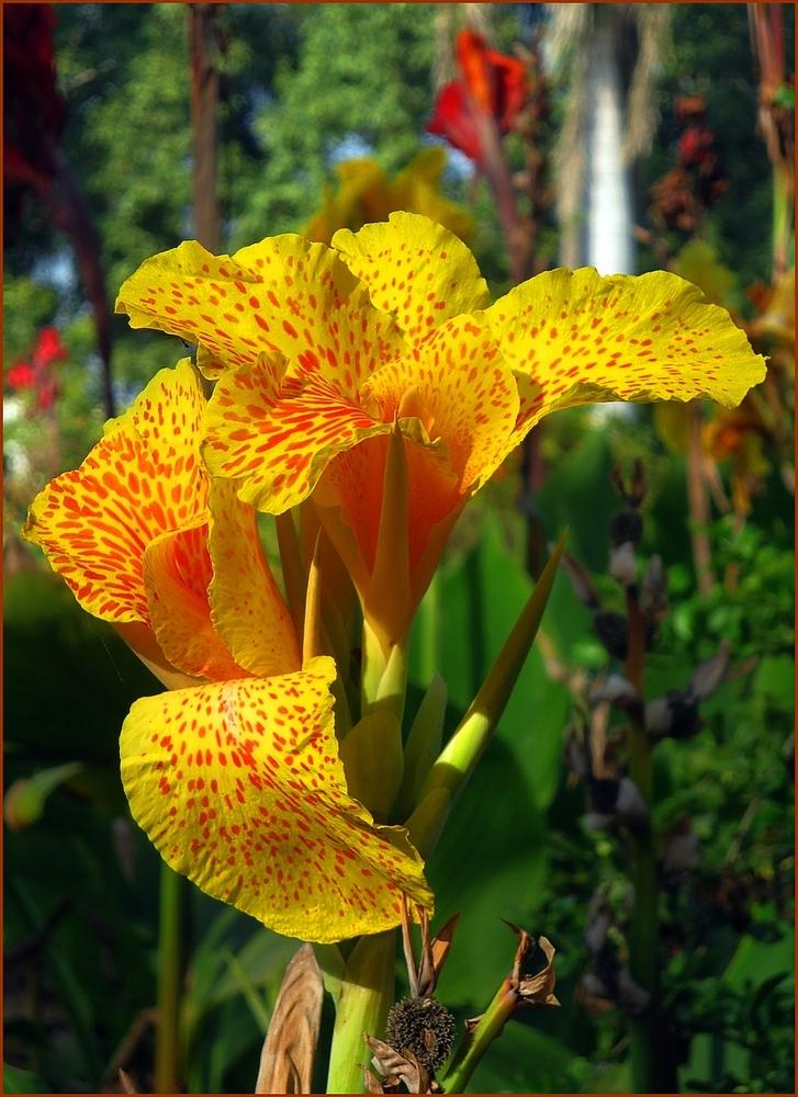 canna indische rohrblume zum donnerstag foto bild pflanzen pilze flechten bl ten. Black Bedroom Furniture Sets. Home Design Ideas