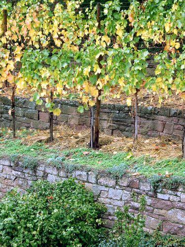 Cannstatter Wein