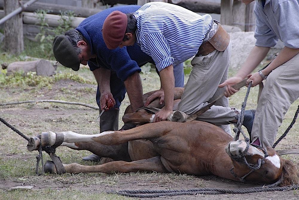 Capando el caballo.