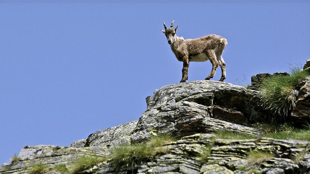 Capra Ibex - Steenbok