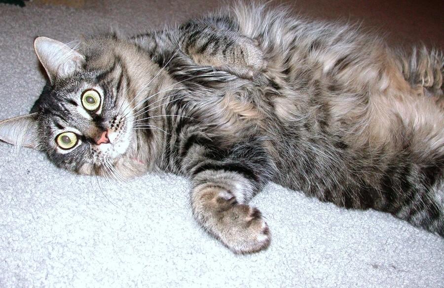 capriola la gatta festaiola