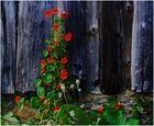 Capucine sur vieux bois