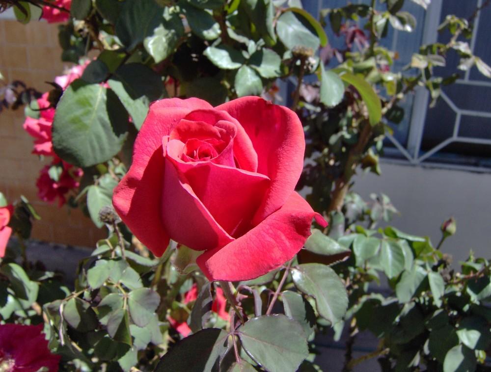 capullo de rosal