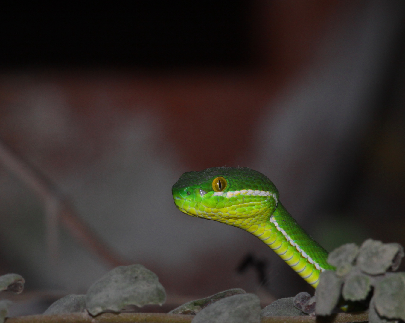 Cardamom Mountains Green Pitviper 2