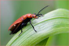 Cardinal à tête rouge (Pyrochroa serraticornis) 2