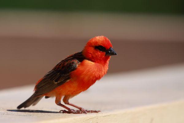 Cardinal de Madagascar 1