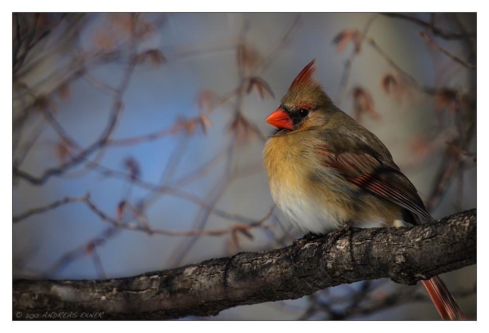 Cardinal's Lady