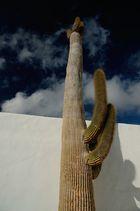 Cardon(-Kaktus) bei Cesar