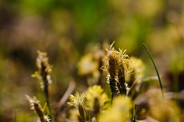 Carex blossoms
