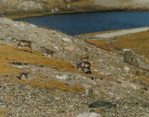 Caribous