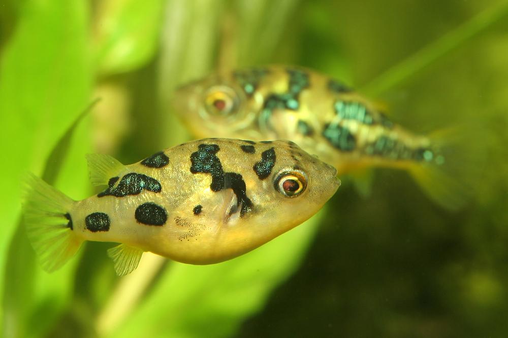 Carinotetraodon travancoricus