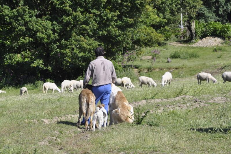 Cariño de pastor
