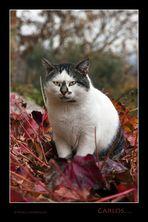 Carlos....gatto delle terre senesi....