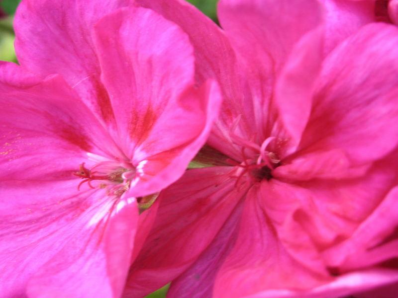 Carnation Twins