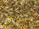 Carnica Bienen