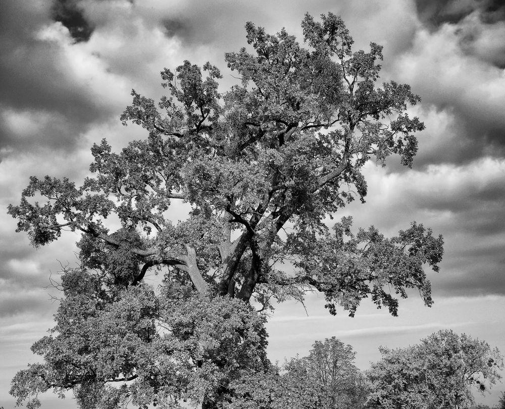 carnuntumbaum