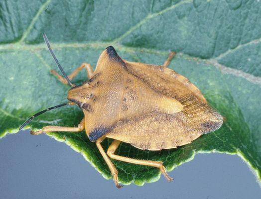 Carpocoris fuscispinus, 11 bis 14 mm lang