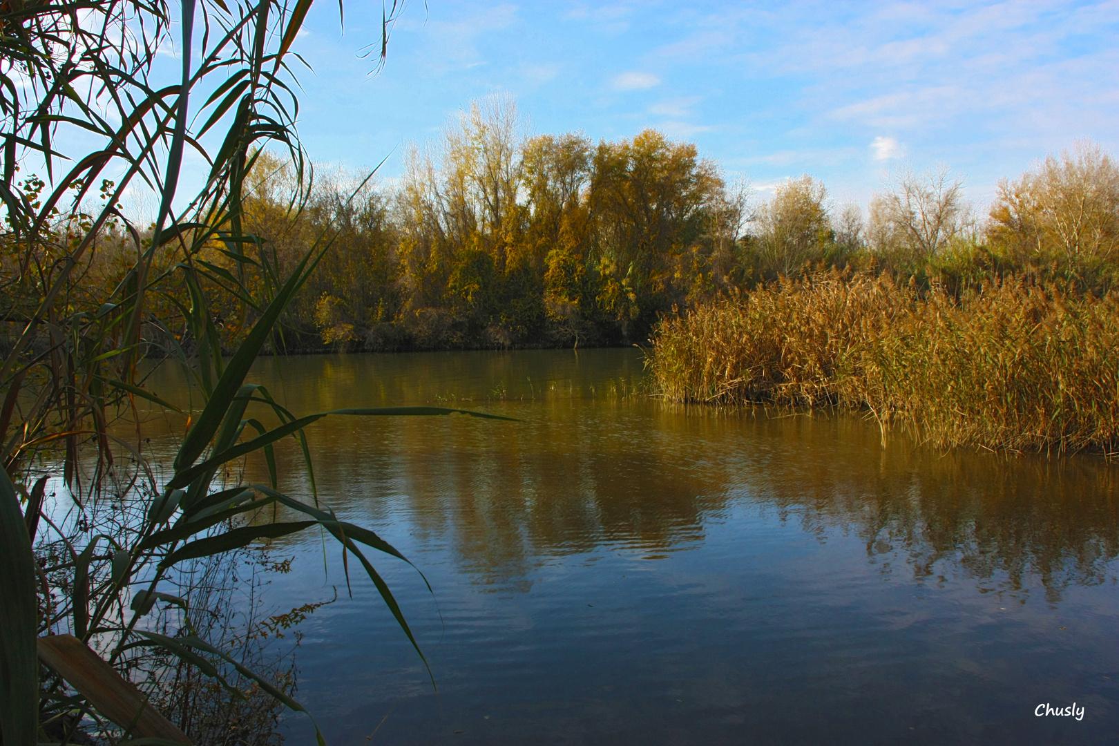 Carrizos en el río Segre