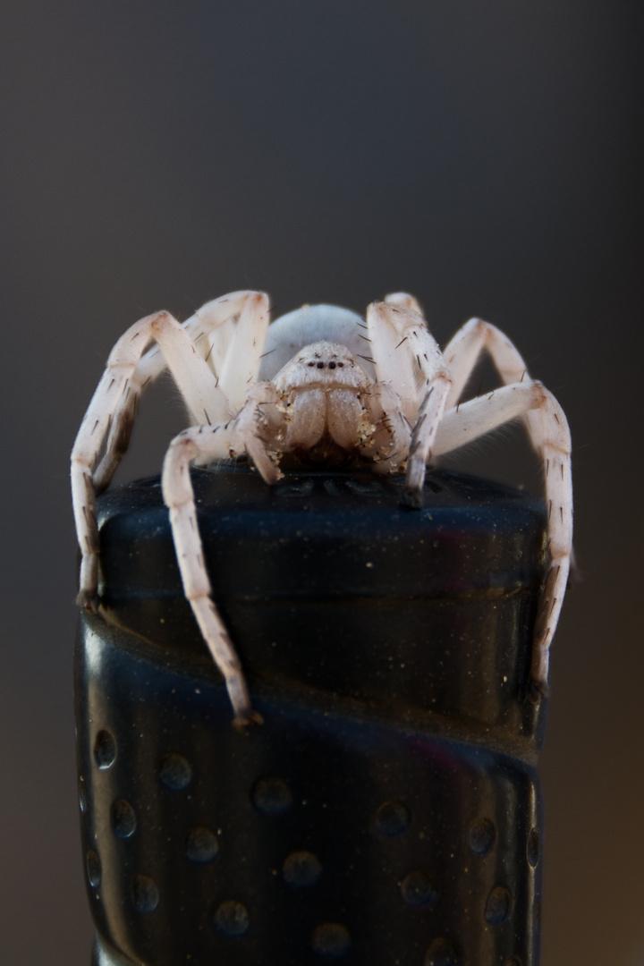 "Cartwheeling Spider (""Desert golfing"")"