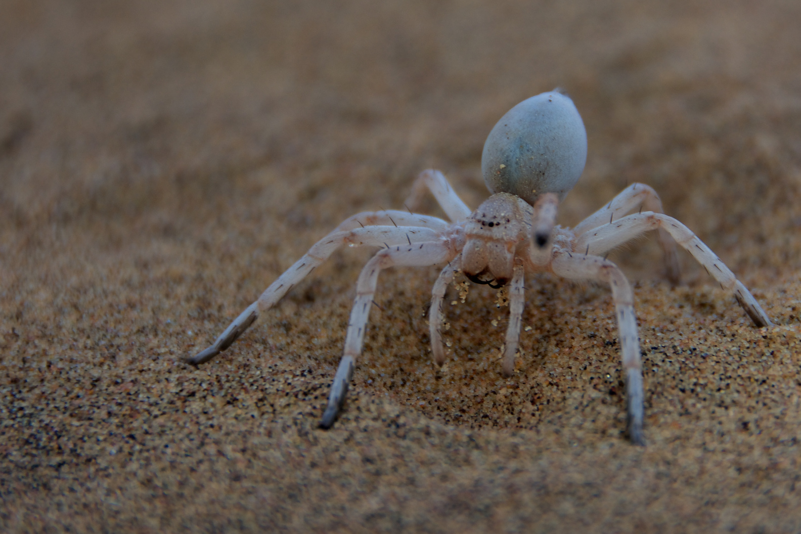 "Cartwheeling Spider (""Finger pointing"")"
