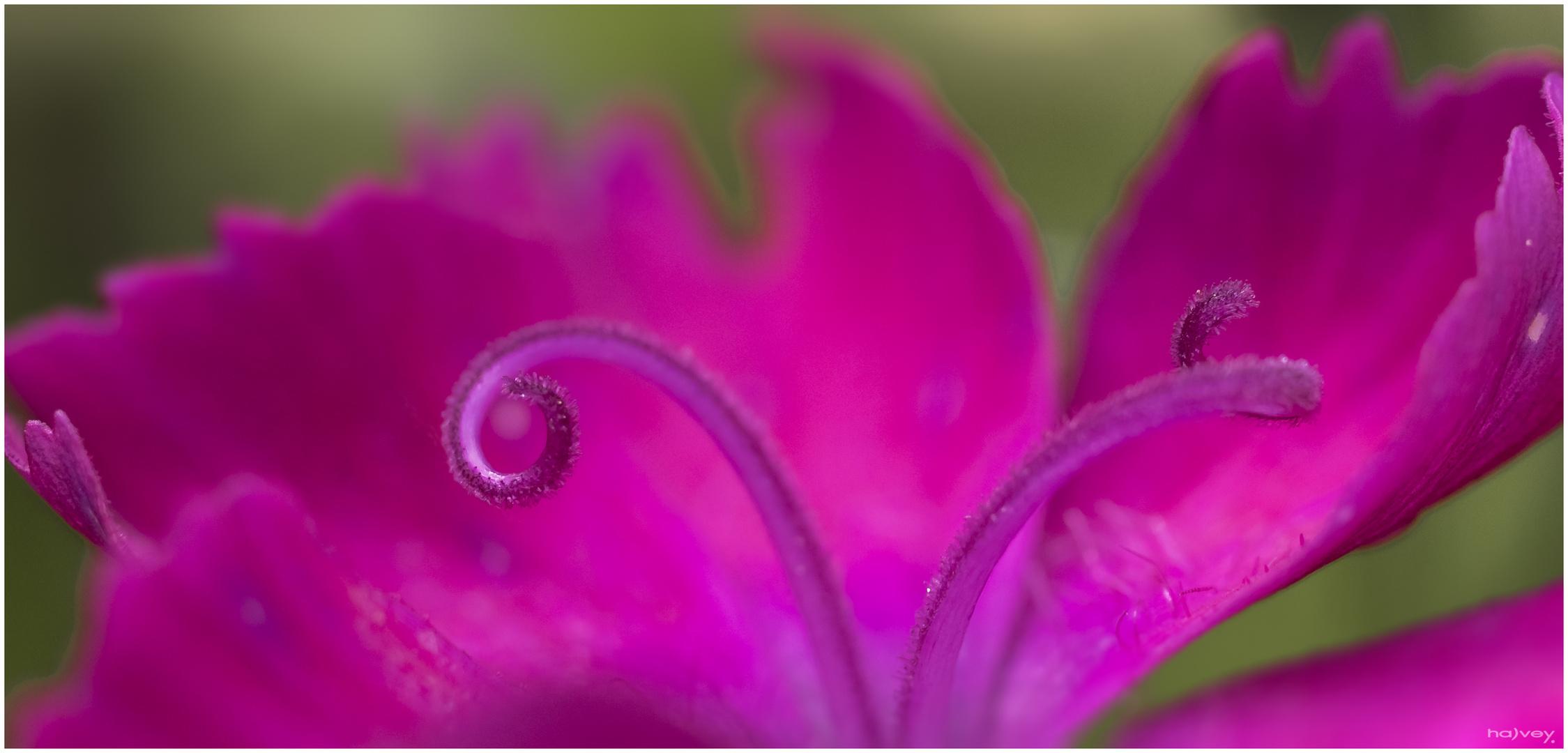 ...Caryophyllaceae....
