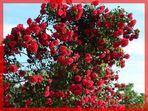Cascata di rose...