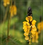 Cassia didymobotrya - Gewürzrinde......